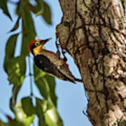 Yellow-fronted Woodpecker  Melanerpes Art Print