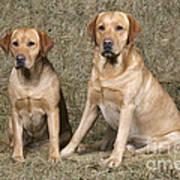 Yellow Labrador Retrievers Art Print