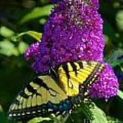 Yellow Tiger Swallowtail Papilio Glaucus Butterfly  Art Print