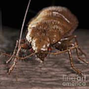 Bedbug Cimex Lectularius Art Print