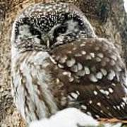 Boreal Owl Pictures Art Print