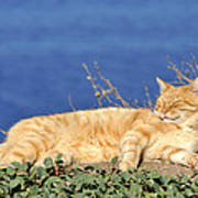 Cat In Hydra Island Art Print
