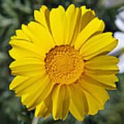 Crown Daisy Flower Art Print