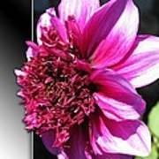 Dahlia Named Blue Bayou Art Print