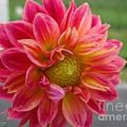 Dahlia Named Brian's Sun Art Print