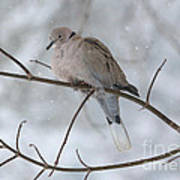 Eurasian Collard Dove Art Print