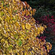 Fall Foliage Art Print