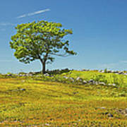 Lone Tree With Blue Sky In Blueberry Field Maine Art Print