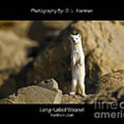 Long-tailed Weasel Art Print