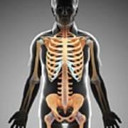 Male Skeletal System Art Print