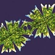 Micrasterias Desmids, Light Micrograph Print by Science Photo Library