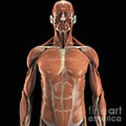 Muscles Of The Upper Body Art Print