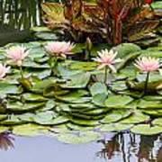 6 Pink Waterlilies Art Print