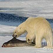Polar Bear With Fresh Kill Art Print
