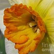 Small-cupped Daffodil Named Barrett Browning Art Print