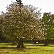 Tree With Large White Flowers Art Print