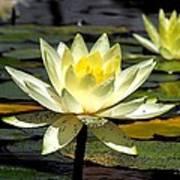 Water-lily Art Print