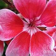 Zonal Geranium Named Candy Fantasy Kiss Art Print