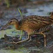 King Rail In A Wetland Art Print