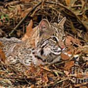 611000006 Bobcat Felis Rufus Wildlife Rescue Art Print