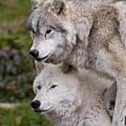 Arctic Wolves Art Print