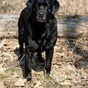 Black Labrador Retriever Art Print