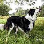 Border Collie In The Nature Art Print