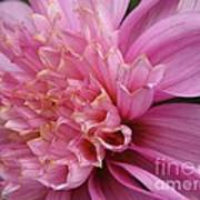 Dahlia Named Siemen Doorenbosch Art Print