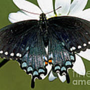 Eastern Black Swallowtail Art Print