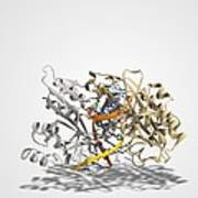 Ecorv Restriction Enzyme Molecule Art Print by Science Photo Library