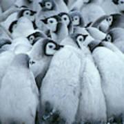 Emperor Penguin Aptenodytes Forsteri Art Print