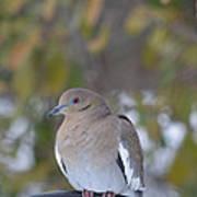 Female White Wing Dove Art Print