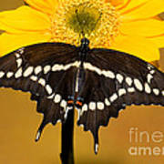Giant Swallowtail Butterfly Art Print
