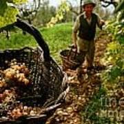 Harvesting In A Vineyard Art Print