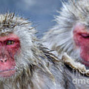 Japanese Macaques Art Print