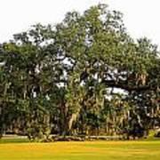 Louisiana Live Oak Tree Art Print