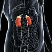 Male Urinary System Art Print