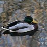 Mallard Duck Art Print