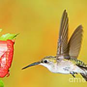 Ruby Throated Hummingbird Female Art Print