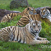 Siberian Tigers, China Art Print