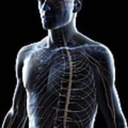 The Nerves Of The Upper Body Art Print