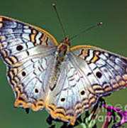 White Peacock Butterfly Art Print