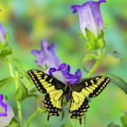 Anise Swallowtail Butterfly, Papilio Art Print