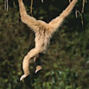 Gibbon A Mains Blanches Hylobates Lar Art Print