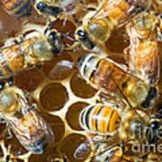 Honey Bees In Hive Art Print