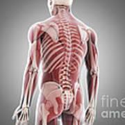 Human Muscles Art Print