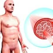 Human Muscular Structure Art Print