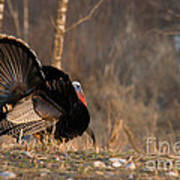 Male Eastern Wild Turkey Art Print