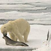 Polar Bear With Fresh Kill Art Print