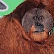 Portrait Of A Large Male Orangutan Art Print